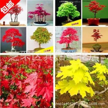 进口蓝枫种子日本黄金枫 紫枫 美国红枫 日本迷你红枫 蝴蝶枫树