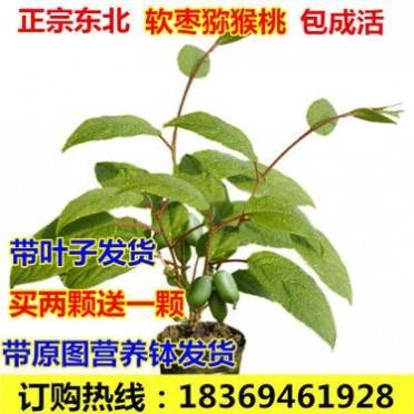 果树苗 软枣猕猴桃树苗红哈迪 水果树苗盆栽地栽南方北方四季种植