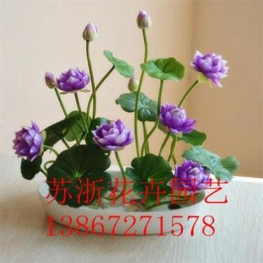 基地直发 碗莲种子 睡莲种子 荷花种子等水生植物