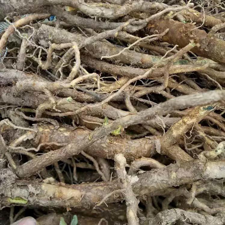 黄芩种子 纯新黄芩籽 药材种子 包发芽 提供技术指导