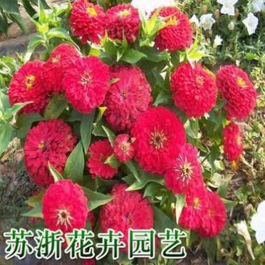百日草种子混色重瓣百日草花种子室内四季易活百日菊花种籽子