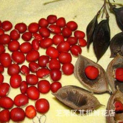 正宗新采红豆树种子 相思树种子 鄂西红豆 江阴红豆 何氏红豆