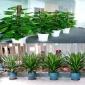 武汉户外花卉租摆|办公室盆栽 发财树客厅 花卉绿植,户外花卉