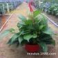 米多盆栽 A180#红盆青叶盆栽植物中小型室内花卉盆景广州基地直销