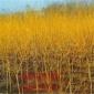 黄金槐树苗 园林绿化苗木 色块绿篱行道树风景国槐造型树