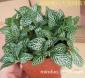 米多盆栽A80矮白天使网纹草 背景花卉盆栽小盆栽植物广州基地直供